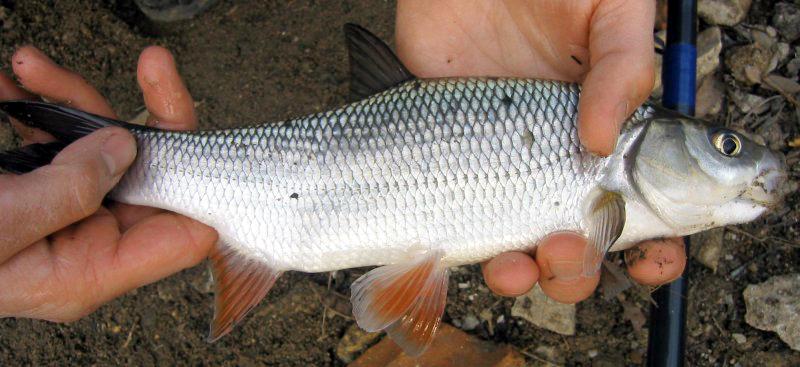 язь рыба фото на что клюет